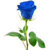 send blue roses to davao philippines, online delivery blue roses to davao